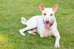 Gehandicapte hond drie benen het glimlachen Royalty-vrije Stock Foto's