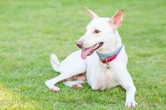 Gehandicapte hond drie benen het glimlachen Royalty-vrije Stock Afbeelding