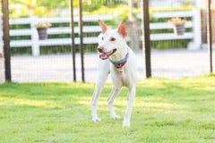 Gehandicapte hond drie benen status Royalty-vrije Stock Foto