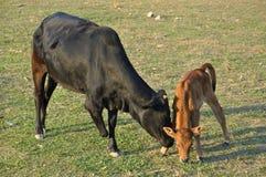 Gehandicapte koe Een koe zonder een been en een kalf Stock Foto