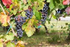 Gehangen in de wijngaard Royalty-vrije Stock Foto