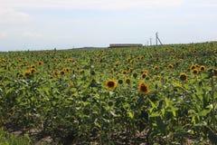 Geheel gebied van heldere zonnebloemen Stock Foto