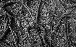 Geheimnisvoller schauender Baum mit ausgebreiteten Wurzeln Stockbilder