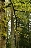 Geheimzinnig bos in het noordelijke deel van Amerika Stock Fotografie