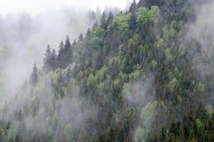 Geheimzinnig sparrenbos in mist na de regen Royalty-vrije Stock Foto