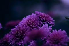 Geheimzinnige chrysant Royalty-vrije Stock Foto's