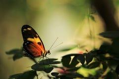 Geheimzinnige vlinder royalty-vrije stock foto's