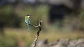 Geheimzinnigheid vogel: wit-throated bij-eter, Merops-albicollis stock afbeeldingen