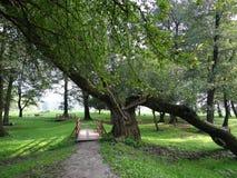 Gehelde boom in een groen park Stock Afbeeldingen
