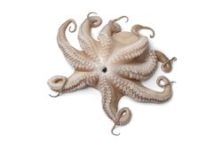 Gehele enige verse ruwe octopus Stock Foto's