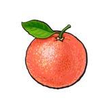 Gehele glanzende rijpe roze grapefruit, rode sinaasappel met een blad stock illustratie