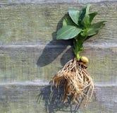 Gehele installatie Zaad, bladeren en wortels Stock Afbeeldingen