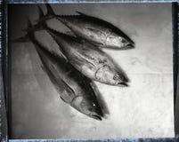 Gehele tonijn drie op metaaloppervlakte Stock Fotografie