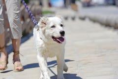 Gehen der Hund Lizenzfreie Stockfotos