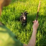 Gehen der Hund - Werfen des Stockes zur Reichweite Stockfoto