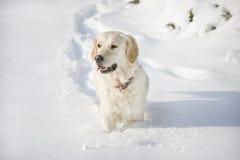 Gehen des goldenen Apportierhunds lizenzfreies stockfoto