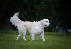 Gehen des goldenen Apportierhunds Lizenzfreie Stockbilder