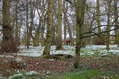 Gehen in ein englisches Holz mit Schneeglöckchenteppich Stockfoto