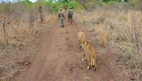 Gehen mit Löwen lizenzfreie stockfotos