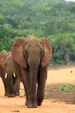 Gehen mit zwei wildes Elefanten Lizenzfreies Stockbild