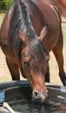 Kopf auf Schuss eines Pferdetrinkens Lizenzfreie Stockfotos