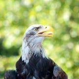 Gehen Sie einen kahlen Adler voran Lizenzfreies Stockbild