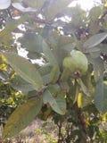 Gehen Sie für frische reine organische Früchte Lizenzfreie Stockfotografie