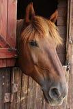 Gehen Sie Pferd voran stockbild