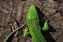 Gehen Sie, Teil des Torsos und Endstück des Leguans auf trockener gebrochener Erde voran stockfotos