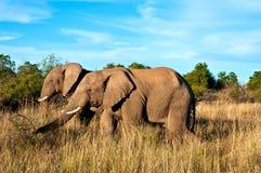 Gehende Elefanten Lizenzfreies Stockbild