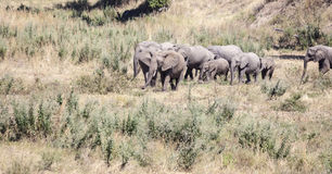 Gehende Elefanten in Afrika Stockfotografie
