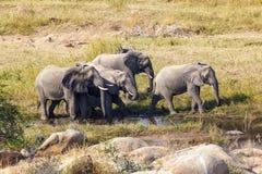 Gehende Elefanten in Afrika Stockbild