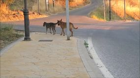 Gehende Feldwege der streunenden Hunde in Andalusien stock video