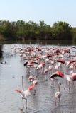 Gehende Flamingos im Camargue, Frankreich lizenzfreies stockfoto