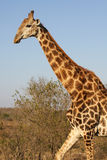 Gehende Giraffe Lizenzfreie Stockfotos