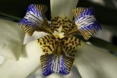 Gehende Iris: Weiß/Purpur, Apostel-Anlage Stockfotos