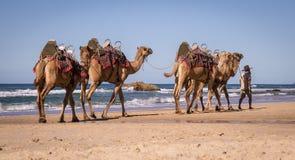 Gehende Kamele des Fremdenführers auf Strand in Australien lizenzfreie stockfotografie