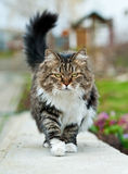 Gehende Katze Stockfoto