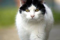 Gehende Katze stockfotos