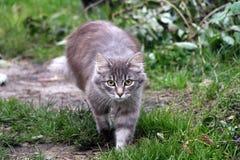 Gehende Katze auf dem grünen Gras stockfotografie