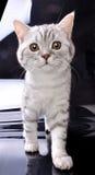 Gehende Katze gegen weißen und schwarzen Hintergrund Lizenzfreie Stockbilder