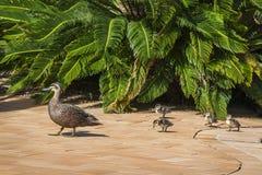 Gehende Mutter-Ente ihre Entlein Stockfoto