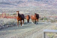 Gehende Pferde die Ranch in West-Texas stockfotos