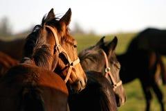 Gehende Pferde am Sonnenuntergang Lizenzfreie Stockfotos