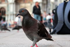 Gehende Taube - Bote und Rucksack in Italien Lizenzfreies Stockbild