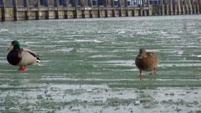 Gehende Wintereiszeit die Enten stock footage