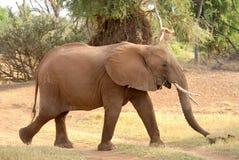 Gehender afrikanischer Elefant Lizenzfreie Stockfotos