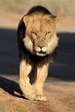 Gehender afrikanischer Löwe Stockfotos
