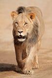 Gehender afrikanischer Löwe Lizenzfreie Stockbilder