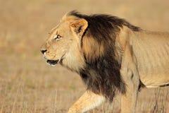 Gehender afrikanischer Löwe Stockfoto